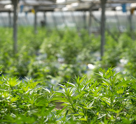 Hemp plant process slider
